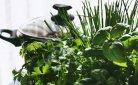 Goedkoop en ecologisch: kruiden uit eigen tuin